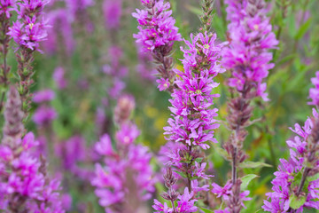 Lythrum salicaria, purple loosestrife flowers