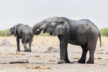 Elephants at Etosha National Park, Namibia, Africa