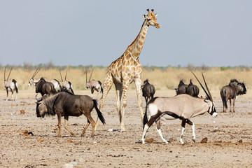Giraffe, Gnus and Oryx at Etosha National Park, Namibia, Africa