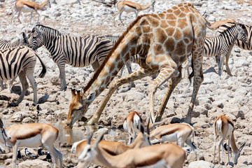 Giraffe, steenboks and zebra at Etosha National Park, Namibia, Africa