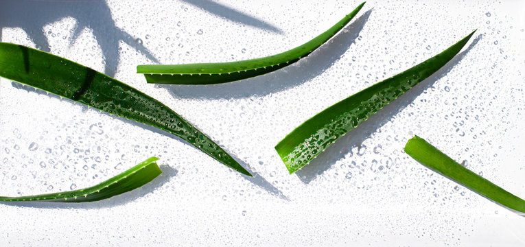 Wet Aloe vera leaves on the noon sun on the white background. Top view