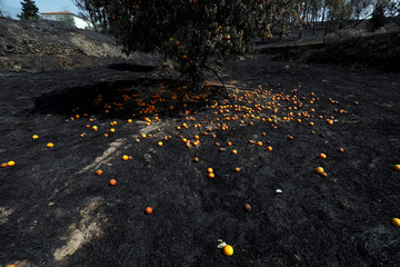 An orange tree is seen after a forest fire at the village of Roda
