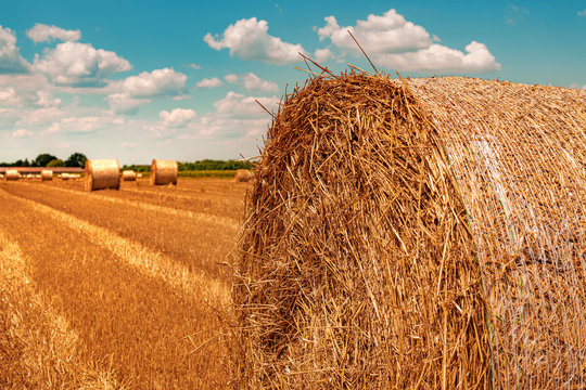 Round wheat hay bales drying in field stubble after harvest