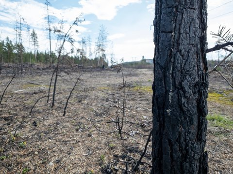 Forest fire aftermath with burnt trees and stump. Field with ashes after a wildfire