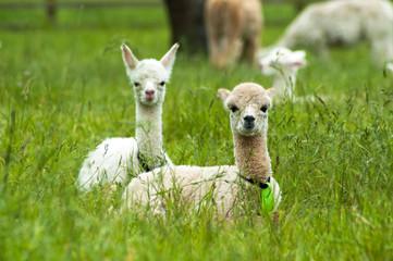 Cute white alpaca babies sitting on the grass