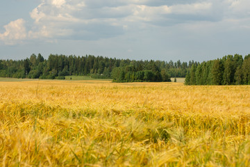 Rural landscape with forest and a field of wheat