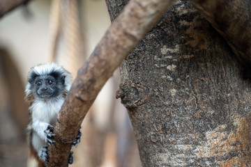Young Cotton-top tamarin. Baby monkey on the tree branch. Saguinus oedipus
