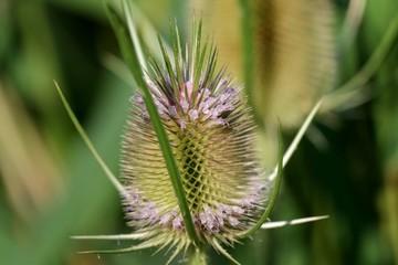 Macro d'une fleur de chardon.
