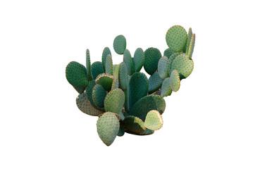 Foto auf Leinwand Kakteen Opuntia cactus. Creative layout. Minimal style still life.