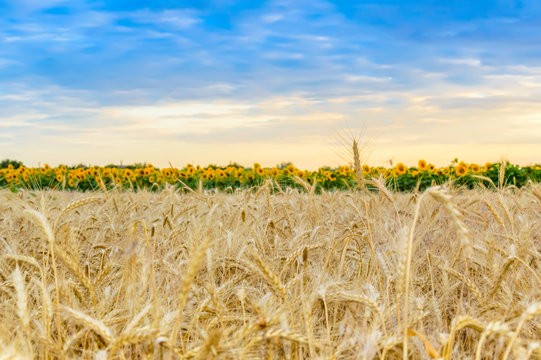 Wheat field at sunset. Yellow ripe wheat kernels ready for harvesting. Blurred sunflowers in background. Summer rural landscape. Concept of rich harvest