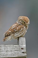 Fototapeten Eule Steinkauz (Athene noctua) - Little owl