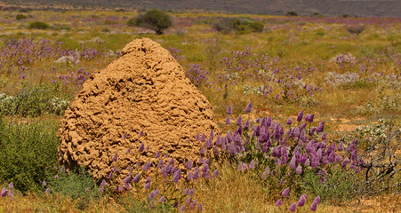 Contrast of red termite mound with plumes of purple flowers in Western Australia
