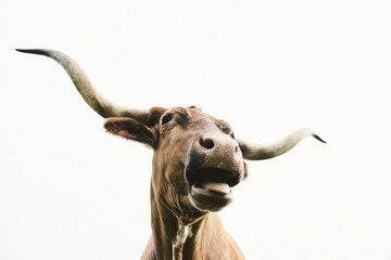 Wall Mural - Texas Longhorn cow isolated on white background, making funny animal face.