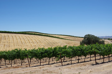 View of the wide central California summer landscape with golden hills and a vineyard with an oak tree and a blue sky above