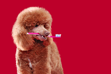 Closeup portrait of a poodle holding tooth brush in mouth against red background
