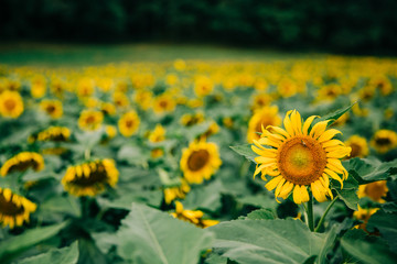 sunflowers in a very large sunflower field in the summer fall at harvest