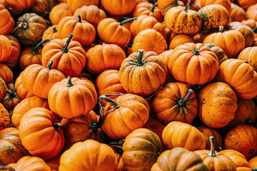 Large Piles Scattering of Orange small Pumpkins and Gourds at a Pumpkin Patch in October for a Fall Festival