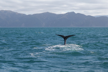 Sperm Whale tail. Picture taken from whale watching cruise have background are mountain in Kaikoura, New Zealand