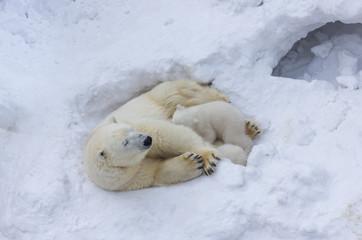 Poster Ijsbeer Polar bear mom feeding cub. Close up portrait on snow background.