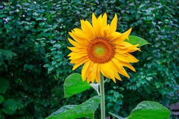 Wall Mural - Sunflower in the garden.