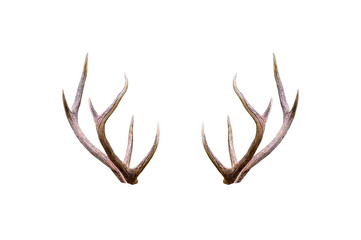Beautiful male antler isolated on white background