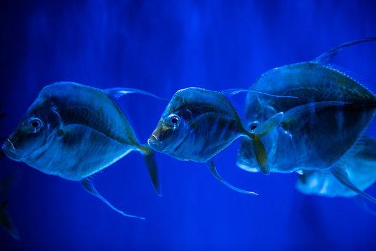Selene fish Atlantic moonfish swarm in blue water ocean aquarium nature
