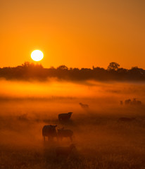 Foto auf AluDibond Rotglühen Sheep in a field on a Autumn morning with warm sunlight and fog - A beautiful sunrise in the countryside