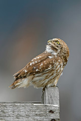 Printed roller blinds Owl Steinkauz (Athene noctua) - Little owl