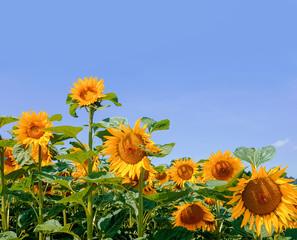 sonnenblumenfelder schweiz mit Textfreiraum