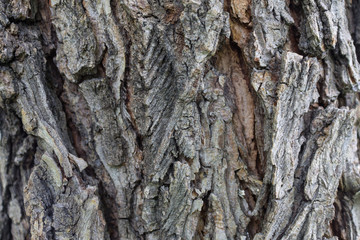 Texture of Elm tree bark with cracks and growths close-up for background