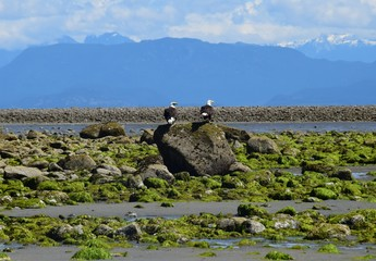 two bald eagle sitting side by side on a large rock on the shore of the ocean, low tide