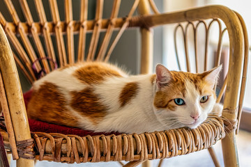Cute cat with different eye colors, heterochromia, on wicker chair; selective focus.