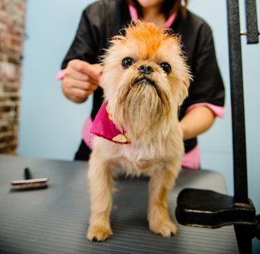 Terrier being groomed