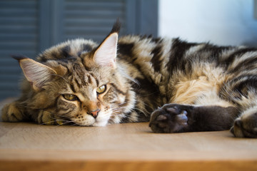 Close-up of a big sleepy half-year-old Maine Coon kitten lying on a table in the minimalist interior of the kitchen, selective focus Wall mural