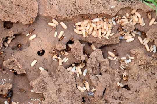 Ameisen-Bau / Ameisenstaat auf Symi, Griechenland - ants on the greek istland Symi