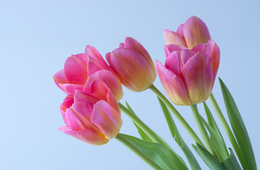 Wall Mural - Pink tulip on background.