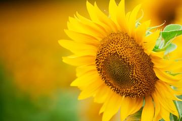 Papiers peints Tournesol Sunflower field - bright yellow flowers, beautiful summer landscape