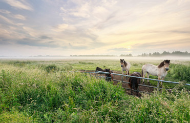Wall Mural - pony and horses on misty pasture at sunrise
