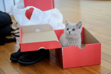 close up photo of a gray kitten in red shoe box