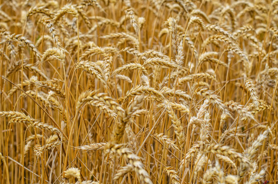 Many yellow spikes of wheat in summer field, selective focus, close-up