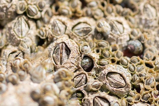 Closeup of Acorn barnacles (Semibalanus balanoides)next to a rockpool on the beach