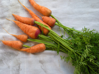 Table Carrots with Green Tops on White Cloth