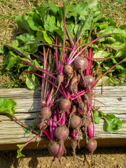 Bunch of Red Beets from Backyard Garden