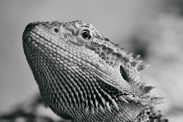 half portrait of a female bearded dragon, macro black and white picture