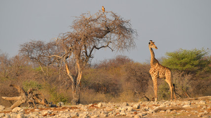 The giraffe (Giraffa camelopardalis) is an African even-toed ungulate mammal, the tallest of all extant land-living animal species, and the largest ruminant. (Etosha National Park) Namibia Africa Wall mural