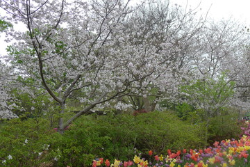 Cherry Blossom and Colorful Flowers in Dallas Arboretum and Botanical Garden