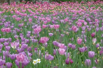 Purple Tulips Field in Dallas Arboretum and Botanical Garden