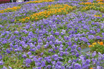 Viola Field in Dallas Arboretum and Botanical Garden