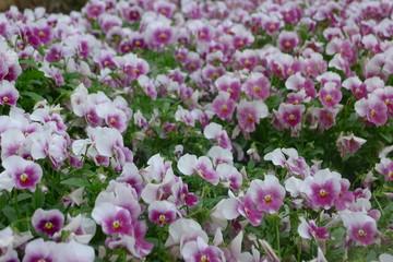 White and Purple Viola in Dallas Arboretum and Botanical Garden