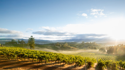 Sunrise Mist over California Vineyard Landscape